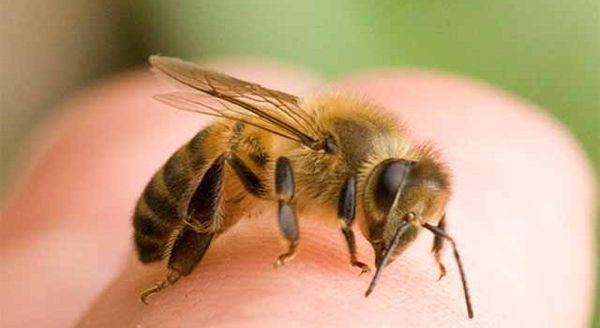 Апитерапия – лечение укусами пчел